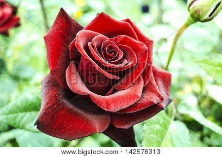 Velvety large dark red rose with black veins on the petals.