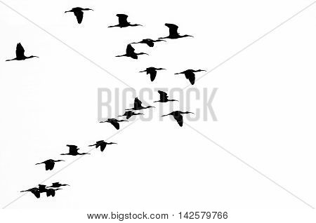 Flock of White-faced Ibis Silhouetted on a White Background