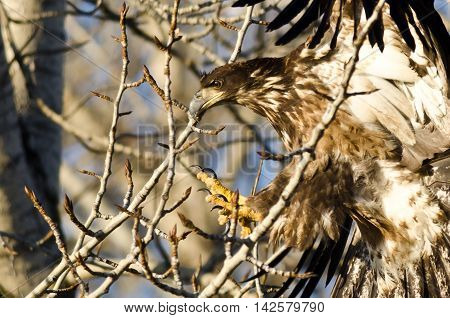 Young Bald Eagle Reaching for a Landing in a Barren Tree