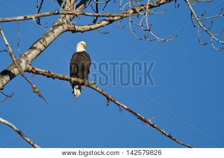 Bald Eagle Perched in the Winter Tree