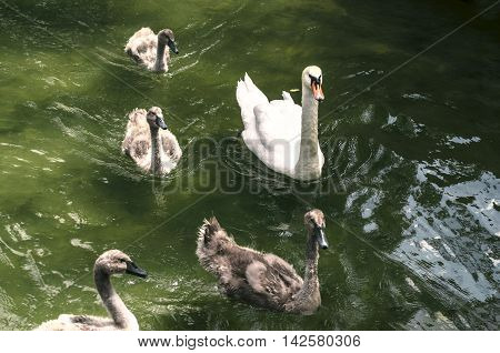 The white swan with young a fledgling swans in water