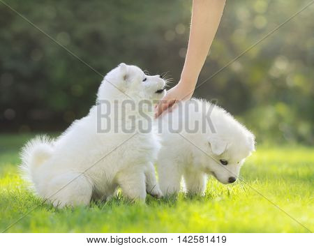 Human hand patting white puppy. Two puppies of Samoyed dog.
