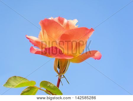 Spring time rose flower against clear blue sky background