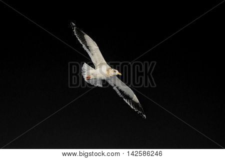 Flying seagull isolat on a black background