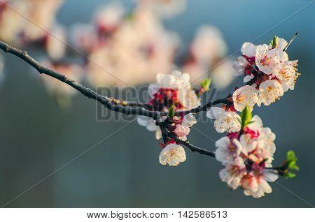 Sakura branch in the garden city of Vladivostok