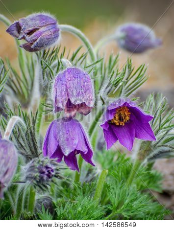 Flowers of pasqueflower in the botanical garden of the city of Vladivostok