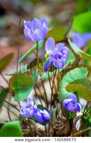 Open flower buds Jeffersonia dubia in botanical garden
