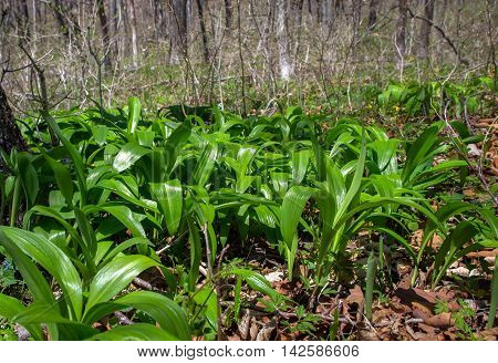 Ramsons on the slopes among the trees