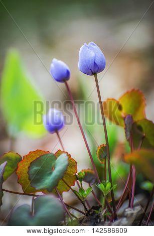 Close flower buds Jeffersonia dubia, Vladivostok, Russia