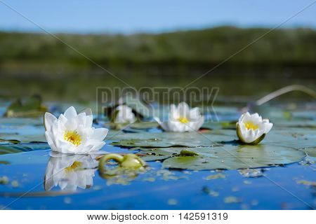 Flowers of White Lily or Lotus with dew drops reflected in the blue water of the pond against the background of the unfocused shore. Selective focus on one of the flowers.