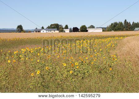 Sunflowers in summer morning in Oregon's Polk County.