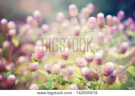 Globe Amaranth Flower With Selective Focus And Blurred Background With Light Effect