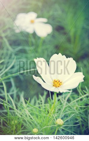 White Cosmos Flower Or Spanish Needle Flower With Grass Background With Light Effect