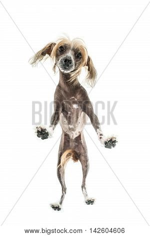 Amazing chinese crested dog stands in the studio on the white background. Photographed from below. Vertical.