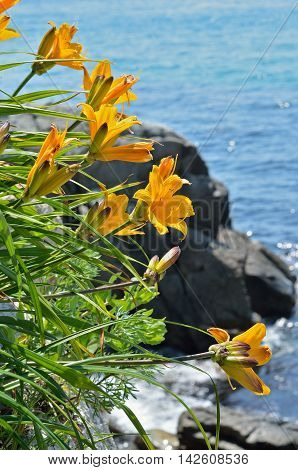 A close up of the flowers lily (Hemerocallis middendorfii) at sea
