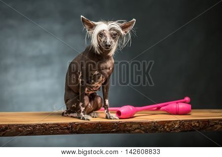 Adorable chinese crested dog sits on the chipboard in the studio on the textured background. Near dog there are two pink sticks. Horizontal.