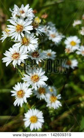 Wild White Heath Asters blooming in the field