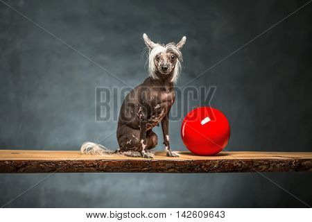 Friendly chinese crested dog sits on the chipboard in the studio on the textured background. Near dog there is a red ball. Horizontal.