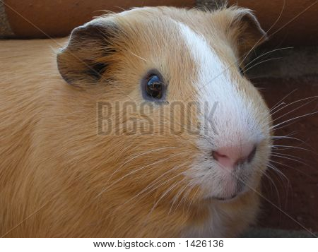 Cute Cavy Face With Brick Background