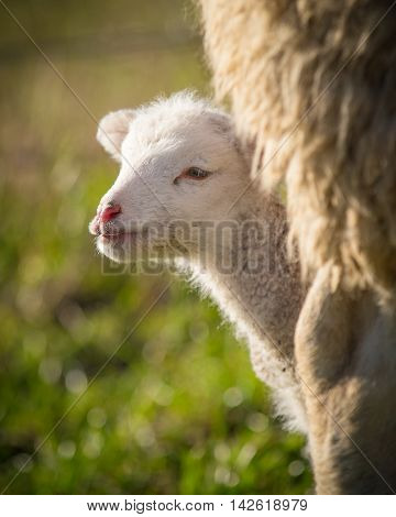 a young suffolk lamb looking out from behind mother