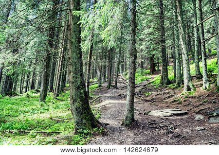 Photo of forest in Costa who travel route to Mount Hoverla in the Carpathians