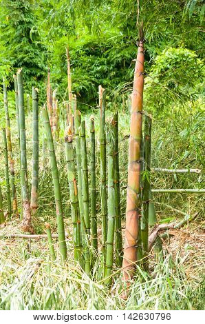 Big bamboo shoots which thrust up from the ground to grow into a clump.