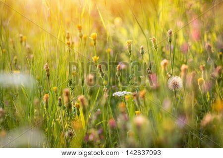 Atmosphere Of Summer Flowering Meadow