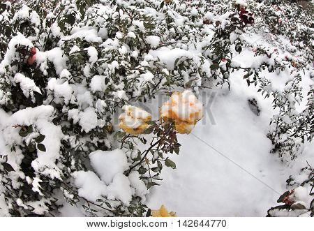 Yellow rose in the snow. Snow on a yellow rose. Survey carried out in Tomsk, Siberia, Russia.