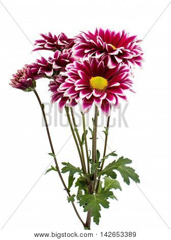 A  loveliness autumn chrysanthemum flower isolated white