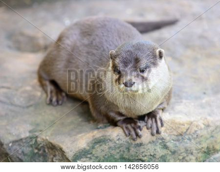 Small-clawed otter lying on stone. Latin name Amblonyx cinerea.