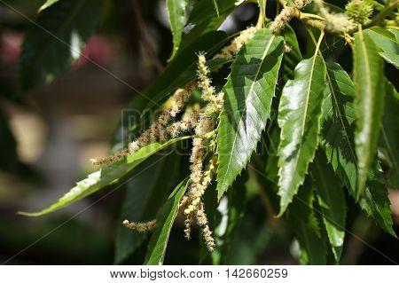 Flowers of a sweet chestnut tree (Castanea sativa)
