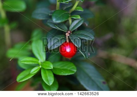 Berries of a wild lingonberry (Vaccinium vitis-idea)