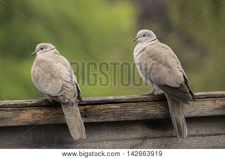Collared Doves Perched On A Fence, Close Up