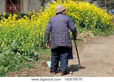Pengzhou China - March 14 2014: An elderly woman with a bamboo cane walking along a dirt country road passes a cluster of yellow Rapeseed oil flowers