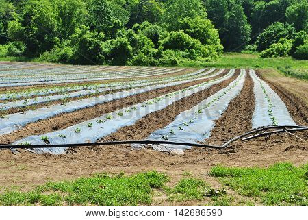 New Growth in Early Spring on a Vegetable Farm