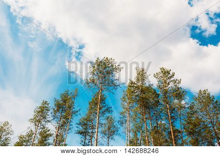 Crowns Treetops Of Tall Thin Slender Evergreen Pines Under Cloudy Spring Summer Blue Sky Welkin Background.