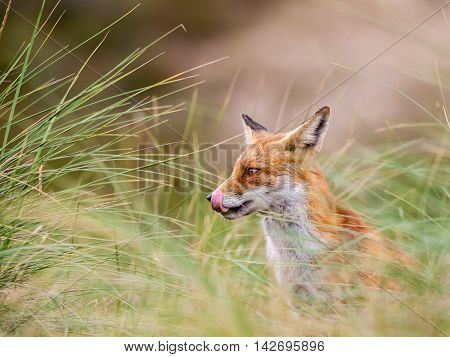 Amsterdam waterleidingduinen there is a family of red foxes in close up