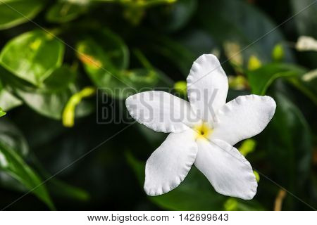 Close Up Top View Of Ervatamia Or Gardenia White Flowers Is Blossom In The Garden, It Have 5 Lobe.