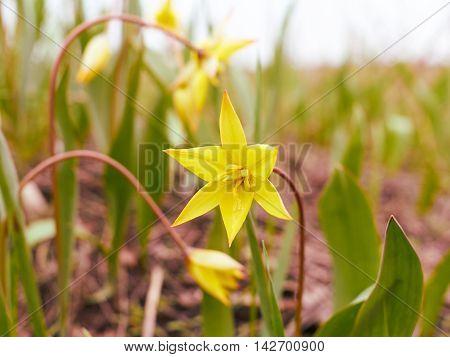 Beautiful Yellow Tulips In Meadow.