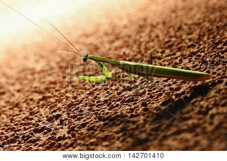 Giant Asian Praying Mantis (Hierodula membranacea) Macro.