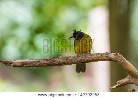 Beautiful Bird Black-crested Bulbul