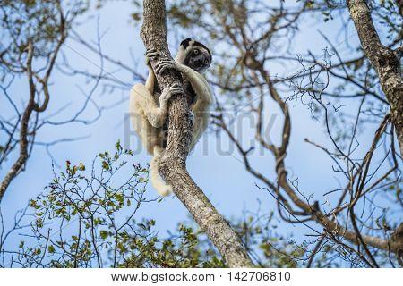 Endemic sifaka lemur (Propithecus) sitting on the tree. Madagascar
