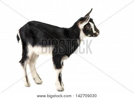 little goat animal isolated on white background