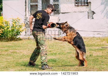 Gomel Belarus - July 23 2016: German shepherd dog training in Gomel Regional sports club and decorative dog-breeding. Biting dog. Alsatian Wolf Dog. Deutscher dog