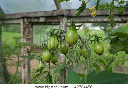 Unriped tomatoes in the hothouse. Green tomatoes.