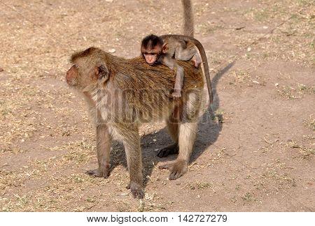 Lopburi Thailand - December 29 2013: Baby monkey riding on its mother's back at Wat Phra Prang Sam Yot