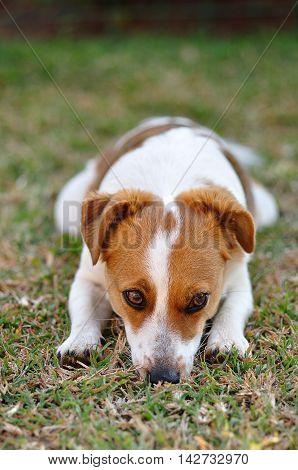 A beautiful sleepy Jack Russel pup in a garden
