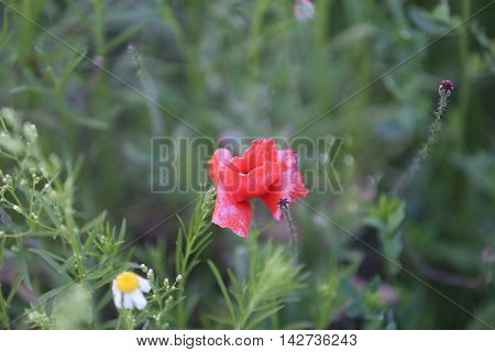 a small wild red flower among other green weeds