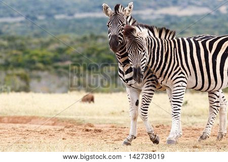 Whisper In Your Ear - Burchell's Zebra