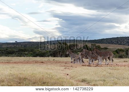 Drinking And Resting At The Dam - Burchell's Zebra